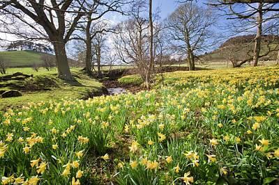 Wild Daffodils Art Print