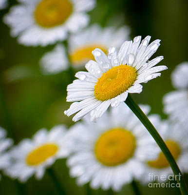 Photograph - Wild Daisies After The Rain by Amy Porter