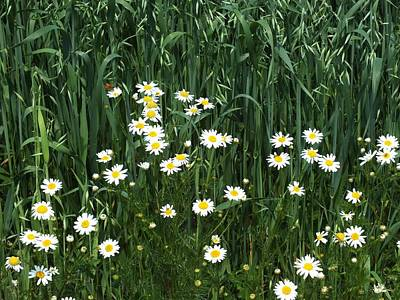Photograph - Wild Daisies by Gene Cyr
