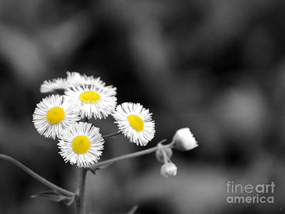 Photograph - Wild Daisies by Jai Johnson