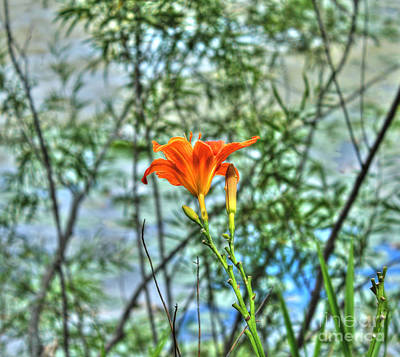 Wild Day Lily Art Print