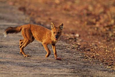 Dog Tracks Photograph - Wild Dog On The Move, Tadoba Andheri by Jagdeep Rajput