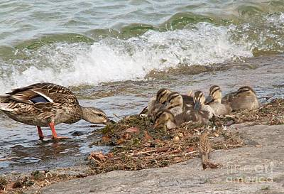 Wild Ducks Original