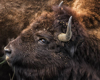 Wild Eye - Bison - Yellowstone Art Print