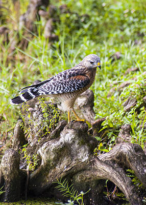Red Shouldered Hawk Photograph - Wild Florida Hawk by Carolyn Marshall