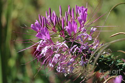Art Print featuring the photograph Wild Flower by Cynthia Snyder