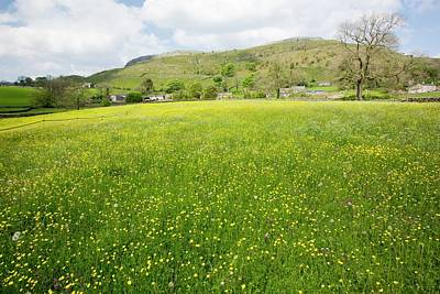 Wild Flower Hay Meadows In Austwick Art Print by Ashley Cooper
