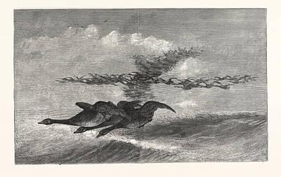 Wild-goose. Us, Usa, America, United States Art Print