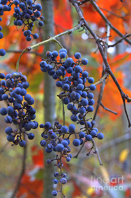 Art Print featuring the photograph Wild Grapes by Jim McCain
