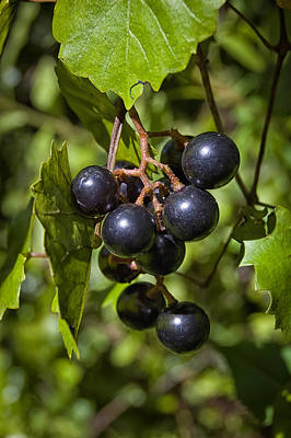 Muscadine Photograph - Wild Grapes Of The Everglades by Rich Leighton