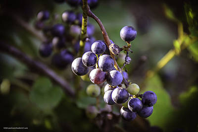 Vines Photograph - Wild Grapes On The Trail by LeeAnn McLaneGoetz McLaneGoetzStudioLLCcom