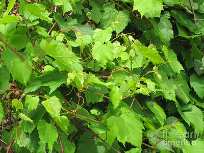 Photograph - Wild Grapevine by Conni Schaftenaar