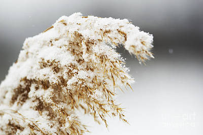 Photograph - Wild Grass In Winter by JT Lewis