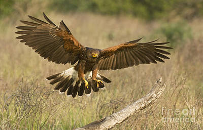 Art Print featuring the photograph Wild Harris Hawk Landing by Dave Welling