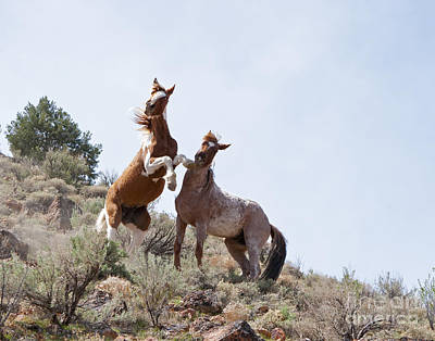 Photograph - Wild Horse Fight by Lula Adams
