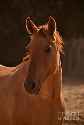 Photograph - Wild Horse Portrait  Brighter  by Heather Kirk