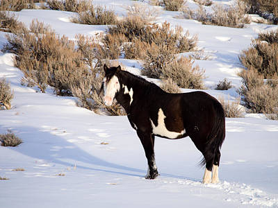 Wild Horse Stallion Art Print