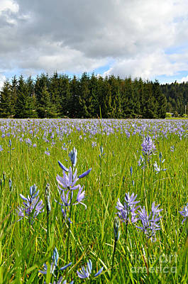 Photograph - Wild Hyacinth by Mindy Bench