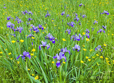 Photograph - Wild Iris Patch by Alan L Graham