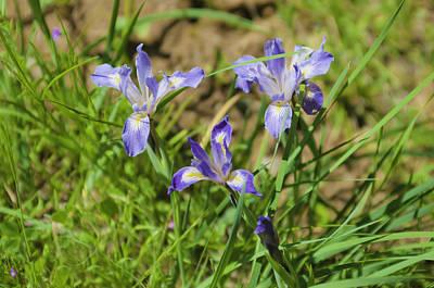 Photograph - Wild Iris by Sherri Meyer