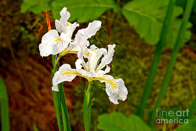 Photograph - Wild Iris by Stuart Gordon