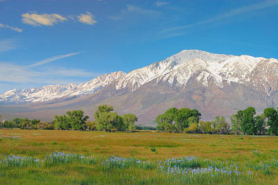 Photograph - Wild Irises Under Mount Tom - Eastern Sierra Owens Valley California by Ram Vasudev