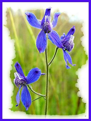 Delphinium Photograph - Wild Larkspurs by Will Borden