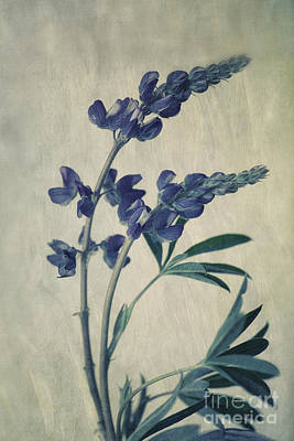 Flower Wall Art - Photograph - Wild Lupine by Priska Wettstein