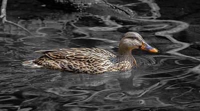 Photograph - Wild Mallard Hen by Jahred Allen