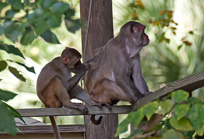 Photograph - Wild Monkeys - Silver Springs Florida by John Black