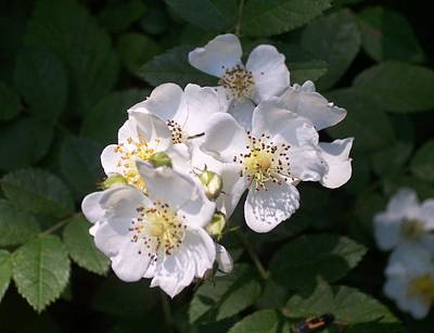 Photograph - Wild Multiflora Rose by William Tanneberger