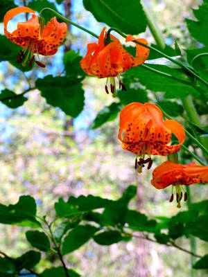 Wild Tiger Lily Photograph - Wild Orange Tiger Lilies by Pamela Patch