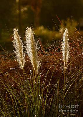 Wild Pampas Grass Art Print by Robert Bales