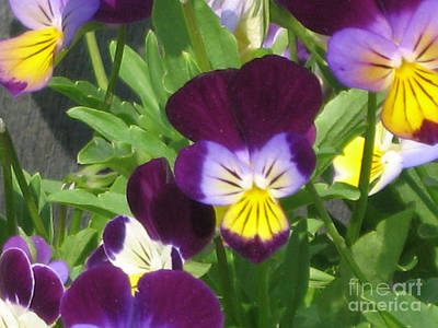 Photograph - Wild Pansies Or Johnny Jump-ups 1 by Conni Schaftenaar