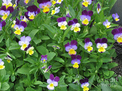 Johnny Jump Up Pansy Photograph - Wild Pansy Or Johnny Jump-up 2 by Conni Schaftenaar