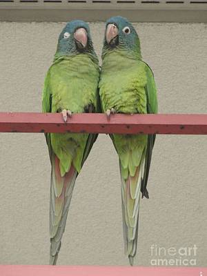 Photograph - Wild Parrots by Joan McArthur