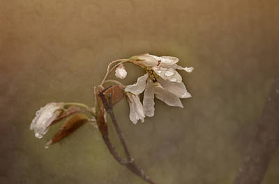 Pear Blossoms Wall Art - Photograph - Wild Pear Blossom by Susan Capuano