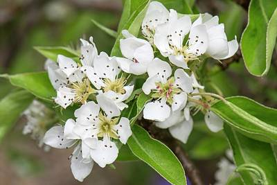 Pear Blossoms Wall Art - Photograph - Wild Pear (pyrus Communis) by Adrian Thomas/science Photo Library