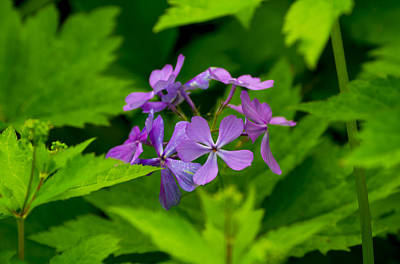 Sports Royalty-Free and Rights-Managed Images - Wild Phlox by David Tennis