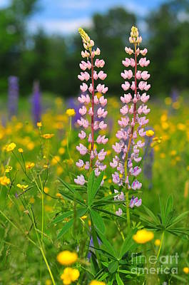 Wild Pink Lupine Art Print by Catherine Reusch Daley