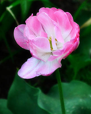 Photograph - Wild Pink Rose by Jatinkumar Thakkar