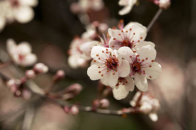 Photograph - Wild Plum 2 by Jane Eleanor Nicholas