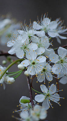 Photograph - Wild Plum Blossoms Ip by rd Erickson