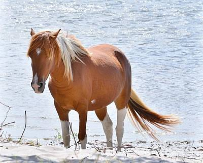 Photograph - Wild Ponies Of Assateague Series 10 by Kim Bemis