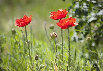 Photograph - Wild Poppies by Idaho Scenic Images Linda Lantzy