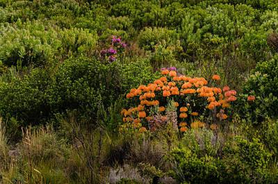 Photograph - Wild Proteas by Paul Indigo