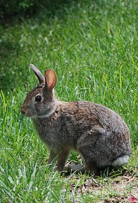 Photograph - Wild Rabbit by Mark McReynolds
