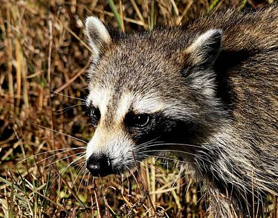 Photograph - Wild Raccoon by Ira Runyan