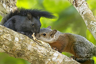 Photograph - Wild Red-bellied Squirrels Interacting by Dave Welling