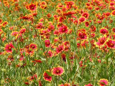 Art Print featuring the photograph Wild Red Daisies #1 by Robert ONeil